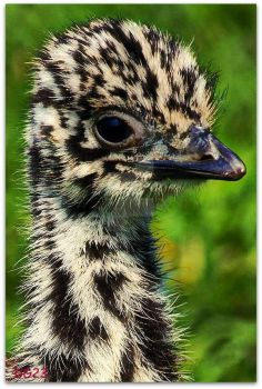 two week old emu by deviant-girl23