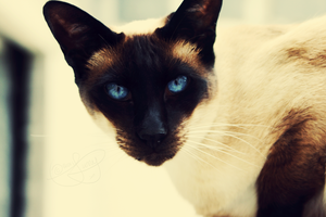 Siamese Blue . . . by veradais