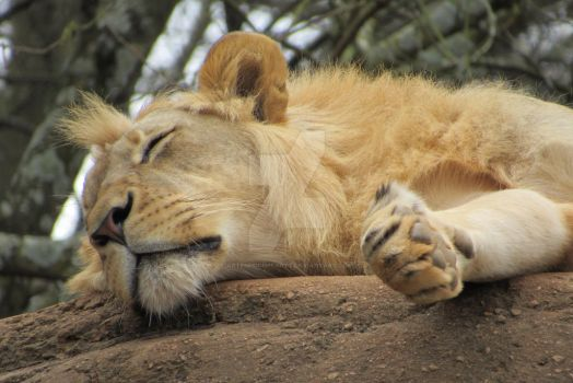 Lion Nap by ArtemisIceheartt