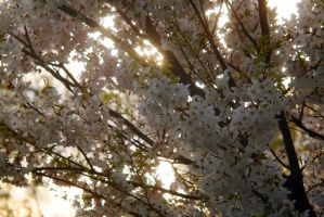 Cherry Blossoms 3 by vmulligan