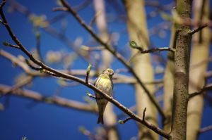 Serin by Michawolf13
