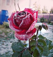 Roses from my garden by Luba-Lubov-13