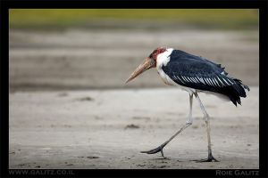 Old Stork by RoieG