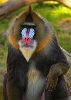 Mandrill 6313 by robbobert