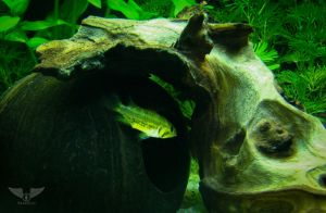 Apistogramma Cacatuoides 'Double Red' female by Brandzai