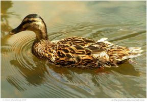 Luvva Duck by In-the-picture