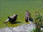 Sparrows Bathing by Lupsiberg
