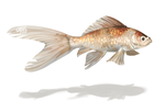 Goldfish Speedpaint - video included by griffsnuff
