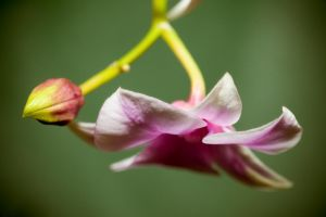 Purple Orchid 1 by dkbarto