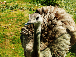 49. ostrich by littleconfusion