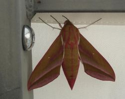 pink and green moth by BellaSofran
