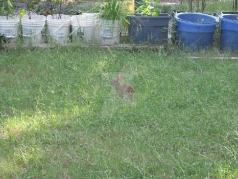 Rabbit in Yard 04 by Guardian-of-Worlds