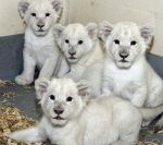 White Lion Cubs by Born2MakeUHappy