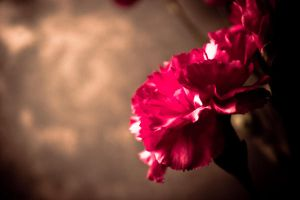 Carnation Studies by light-scape