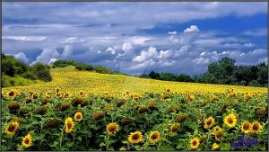Sunflower land by JULIAWA