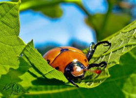 The grapevine beetle by madlynx