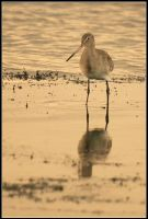 Bar-tailed Godwit by nitsch
