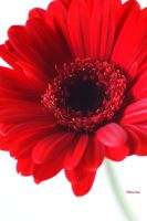 Red Gerbera 49 by Deb-e-ann