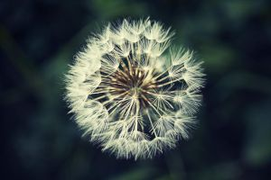 dandelion by donnosch