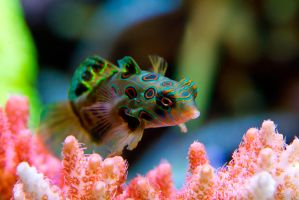 Mandarin Goby by LifeCapturedPhoto