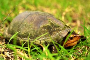 Cryptochelys leucostoma by Luciernaga92