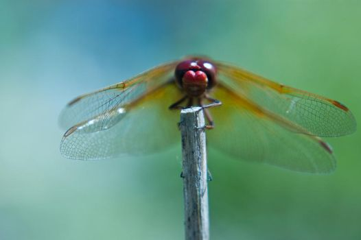 Dragonfly by JVarriano