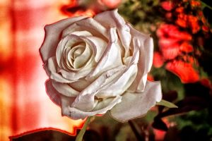 The Beauty Of White Flower by RiegersArtistry