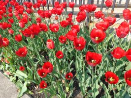 Tulip Time 1 2015 by The-Smile-Giver