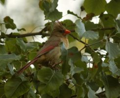 Female Cardinal July - 2014 - 19 - 1 by toshema
