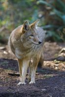 Coyote by joeelway