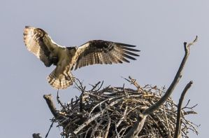 Lake Tahoe Osprey140506-113 by MartinGollery