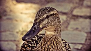 Duck 2 by Rainyphoto