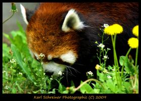 Red Panda 1 by KSPhotographic