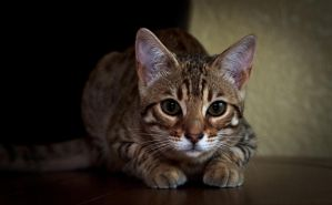 cookie the bengal by smartbren