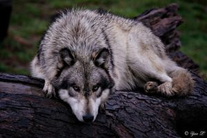 a wolf on a wet log by Yair-Leibovich