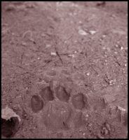 Paw Print by perfect-tragedy