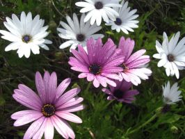 Purple and White Daisies by mattiemoonflower