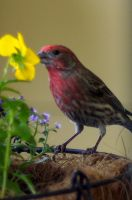 Red Headed Finch by PamplemousseCeil