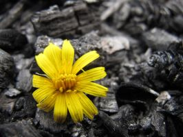 Yellow flower and gray ash... by Sonkankak