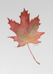 Watercolour Maple Leaf by EmilieArts