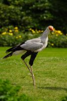 A african secretary bird. by sportytomm