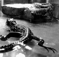 Gator in black and white 3 by tastybedsore