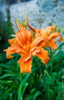 Double lily by mcbiofa