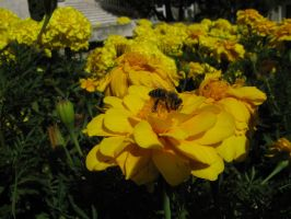 bee on marigold by klaudelu