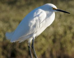 Snowy Egret by Fail-Avenger