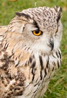 Eagle Owl by Sato-photography