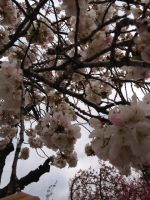 Brooklyn Botanic Garden -White Sakura by Blueheart1331
