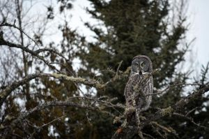 Young Great Gray by jdurbin