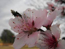 Peach Blossoms ver.2 by XiaAmane