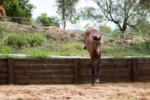 KM Brown showjump landing front view by Chunga-Stock